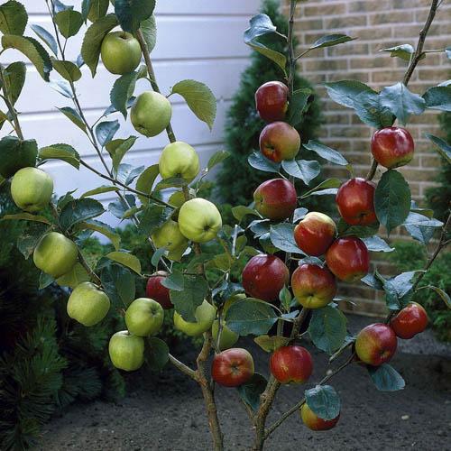 Duo Fruit Tree Apple Bramley Amp Braeburn