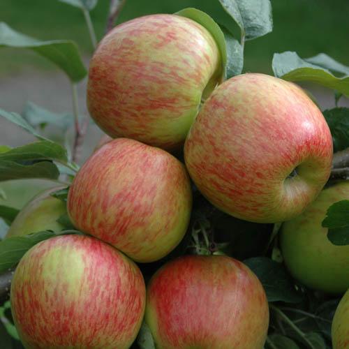 Duo Fruit Tree - Apple Bramley & Braeburn