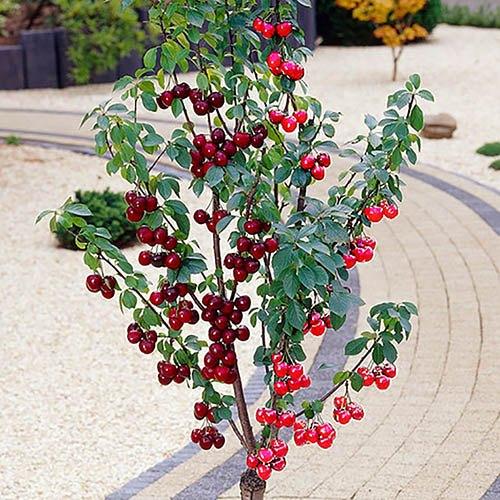 Duo Fruit tree - Cherry Stella & Sunburst