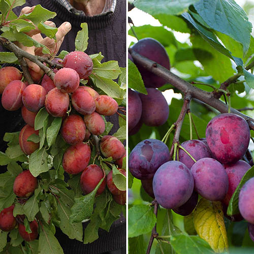 Duo Fruit tree - Plum Victoria & Czar