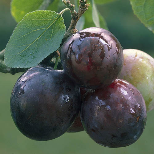 Duo Plum Fruit Tree