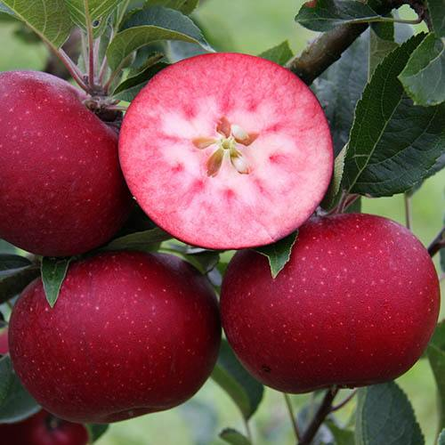 Premium Apple Tree Rosette on MM106