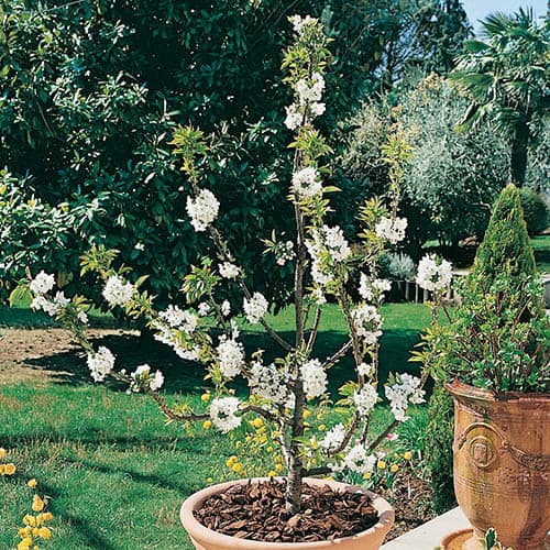 Cherry Garden Bing Patio Fruit Tree in a 7.5L Pot