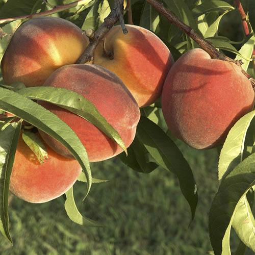 Patio Perfect Dwarf Patio Yellow Peach Tree