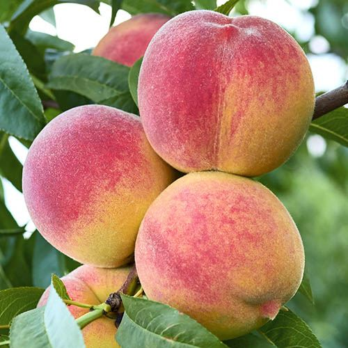 Patio Peach Amber tree