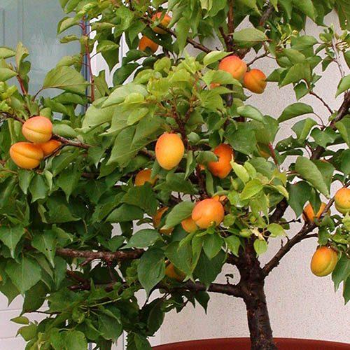 Patio Apricot Aprigold