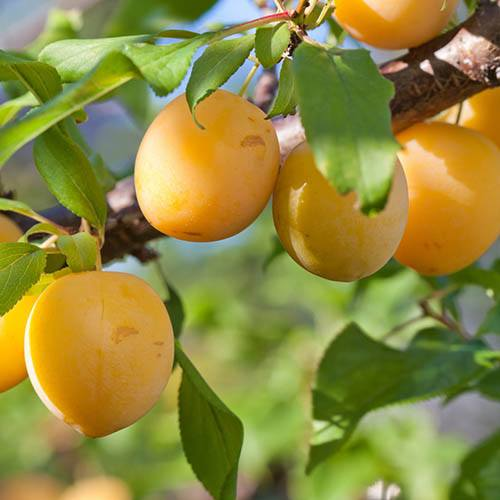Patio Plum Golddust tree
