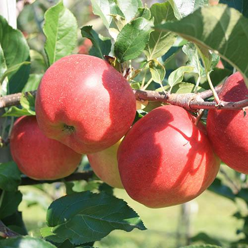 Apple Red Sun Patio Fruit Tree in a 7.5L Pot