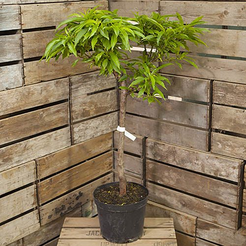 Peach Amber Patio Fruit Tree in a 7.5L Pot