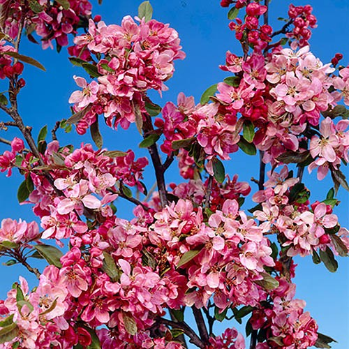 Crab Apple Profusion