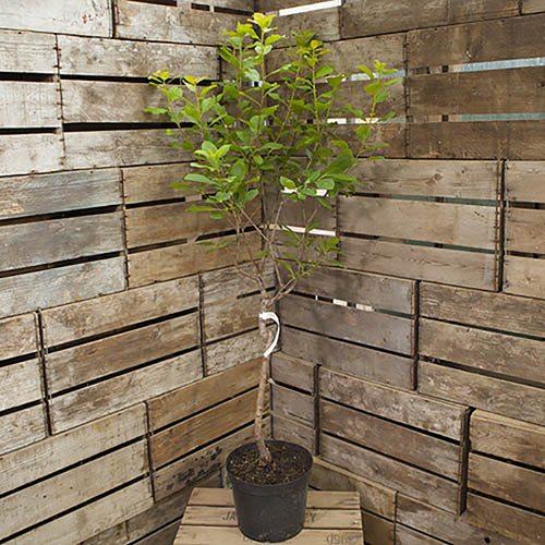 Patio Plum Golddust tree