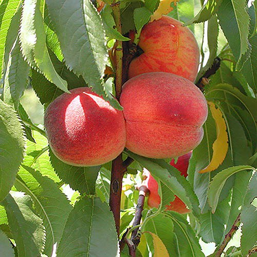 Peach Avalon Pride - Leaf Curl Resistant