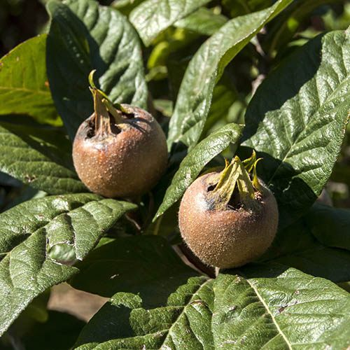 Sibleys Patio Medlar tree
