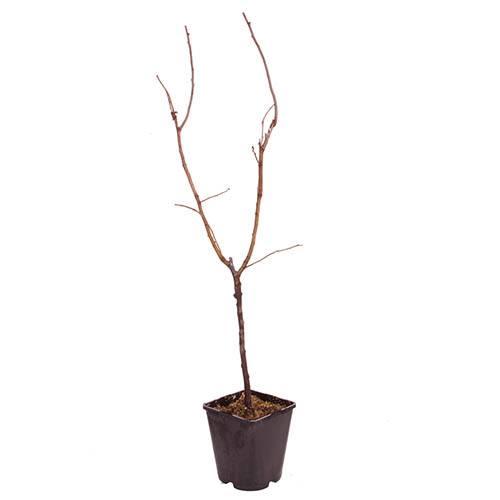 Sibleys Patio Medlar tree