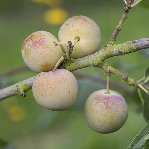 Sibleys Patio Gage Reine-Claude tree