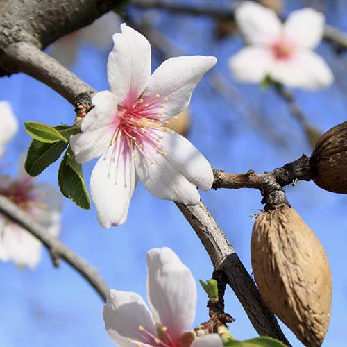 Garden Prince Almond Nut and Fruit Tree in a 7.5L Pot