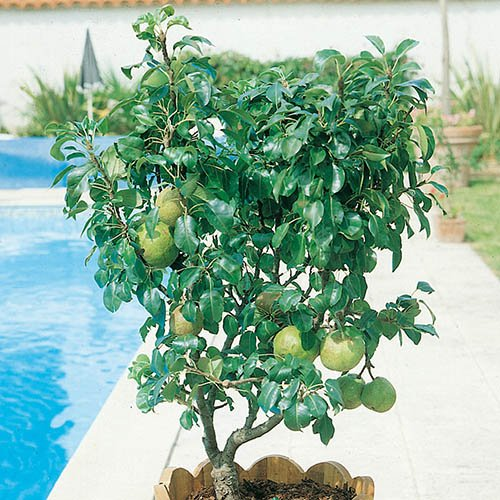 Garden Pearl Pear Patio Fruit Tree in a 7.5L Pot