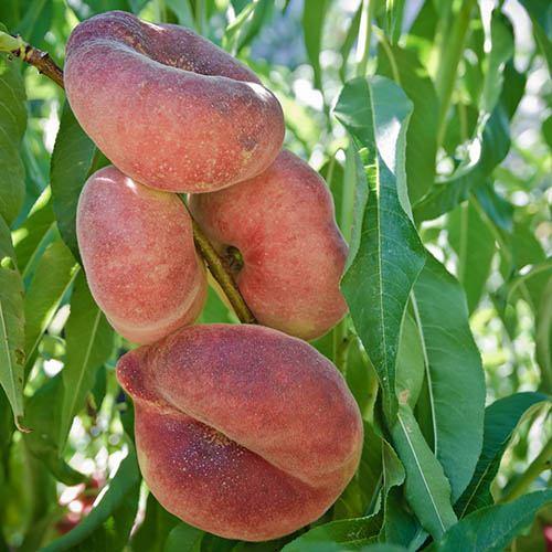 Donut Flat Peach (Prunus persica platycarpa). 1.4m bare root tree.