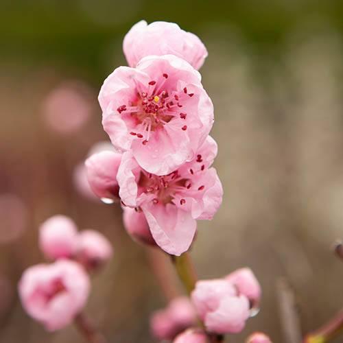 Donut Flat Peach (Prunus persica platycarpa). 5L
