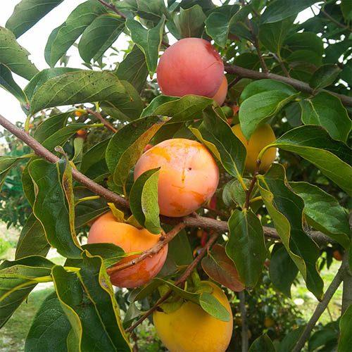Sharon Fruit (Diospryros kaki) 5L potted tree 1M tall