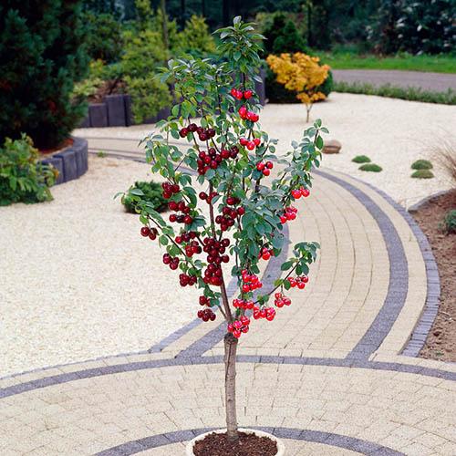 Duo Fruit tree - Cherry Stella & Morello