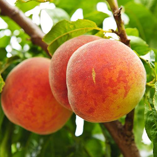 Red Leaf Peach Rubira