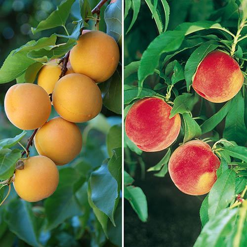Duo Fruit Tree Peach and Apricot bare root