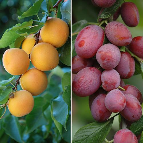 Duo Fruit Tree Plum and Apricot bare root