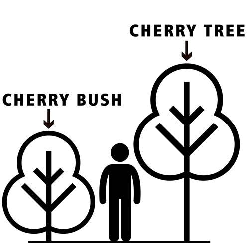 Cherry Bush Athos