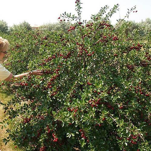 New! Cherry Bush 'Porthos'