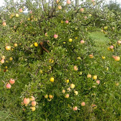 Apple Sweet Summer  5L pot
