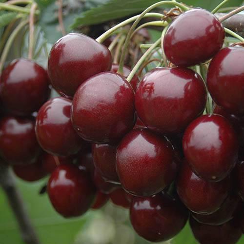 Pair Bush Cherry Athos in 3L pots