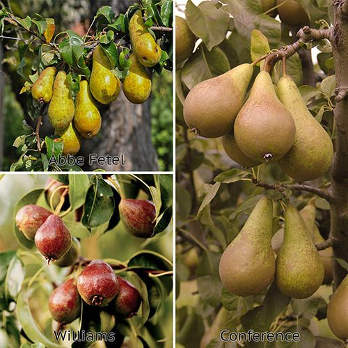Three Variety Family Pear Tree 7L potted
