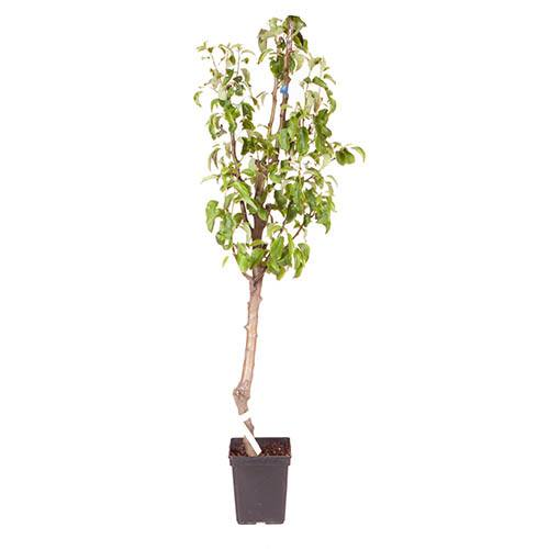 Three Variety Family Pear Tree