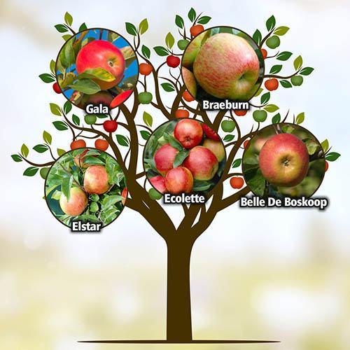 Five Variety Family Apple Tree