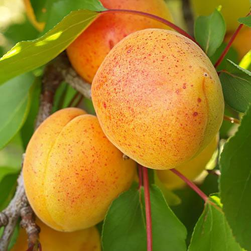 Stone Fruit Tree Collection