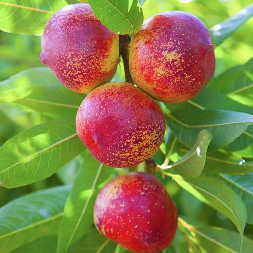 6 Fruit Orchard Tree Collection