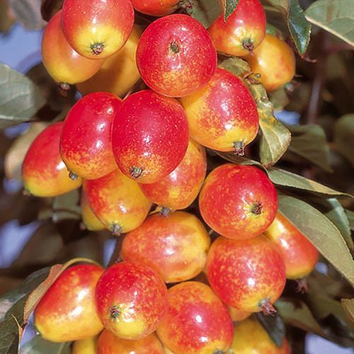 Pair of Crab Apple Trees, Red & Yellow