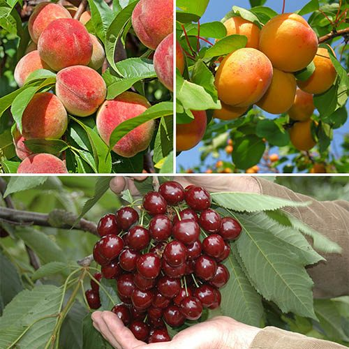 Cherry, Peach & Apricot Orchard Tree Collection 3 x Bare Roots
