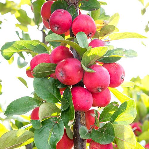 Mini Apple Tree Malus appletini