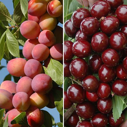 Patio Fruit Trees Cherry Athos and Plum Little Vic