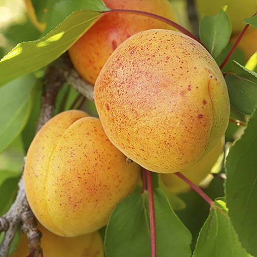 Complete 6 Tree Mini Orchard