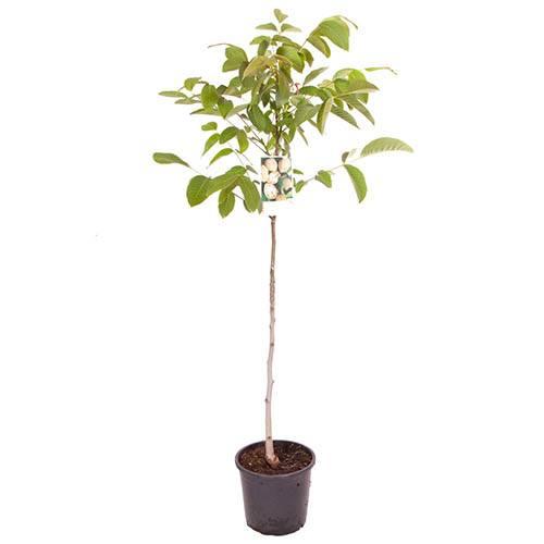 Juglans regia Common Englsh Walnut Tree