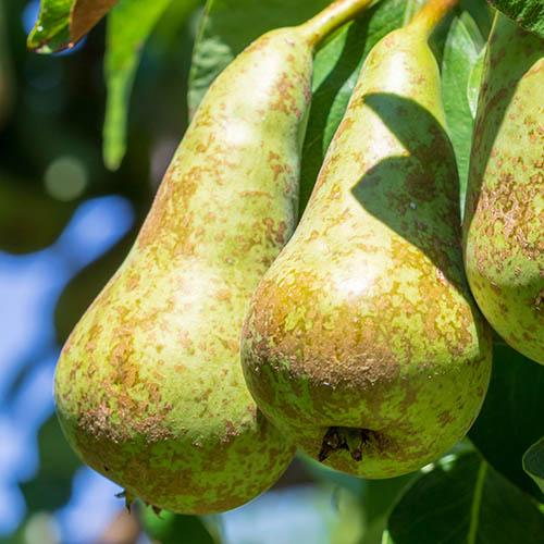 Pear Little Conference GYO Fruit Tree