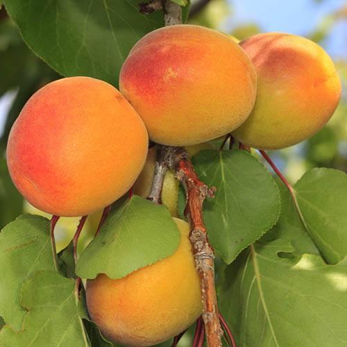 Apricot Polonais 5L