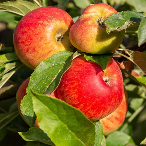Trio Fruit Tree Apple/Cherry/Pear
