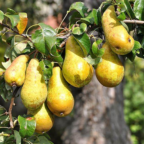 Pear Three Variety Family Tree