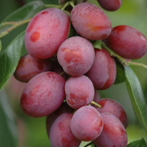 Trio Fruit Tree Apple/Pear/Plum