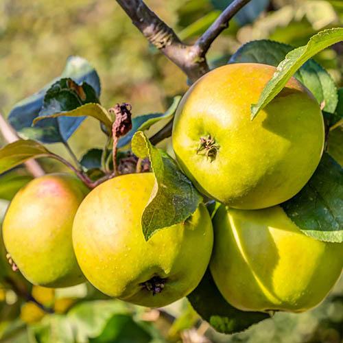 Apple Malus domestica Jonagold