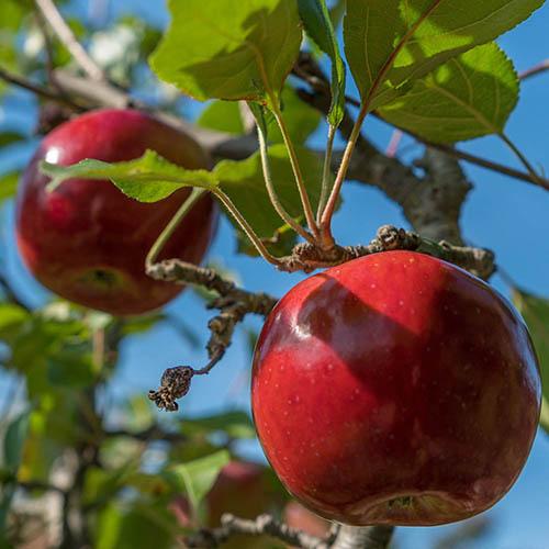Apple Malus domestica Idared